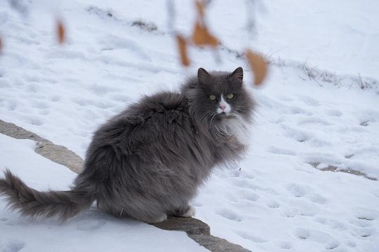 fluffy gray cat in snow