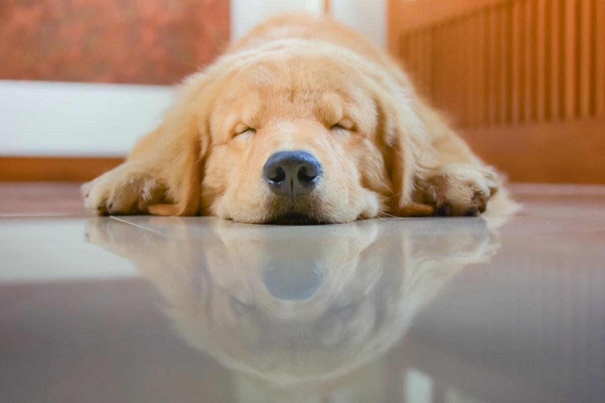 A Golden Retriever sleeps on the floor of the kitchen.