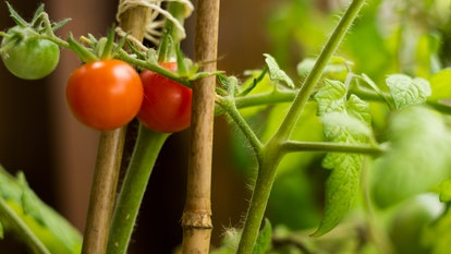 Tomatos growing in the garden