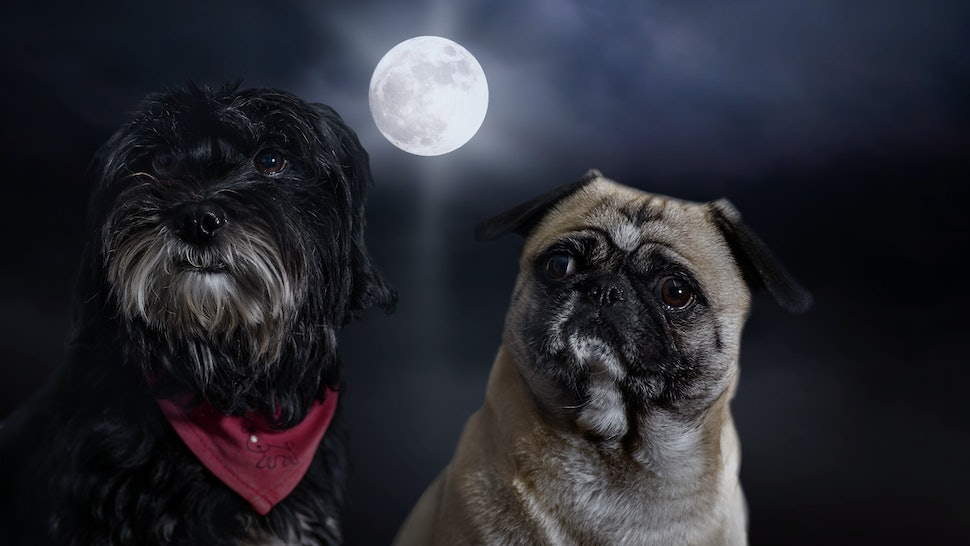 Two dogs with full moon and her behaviour