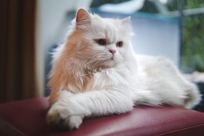 Cat persian