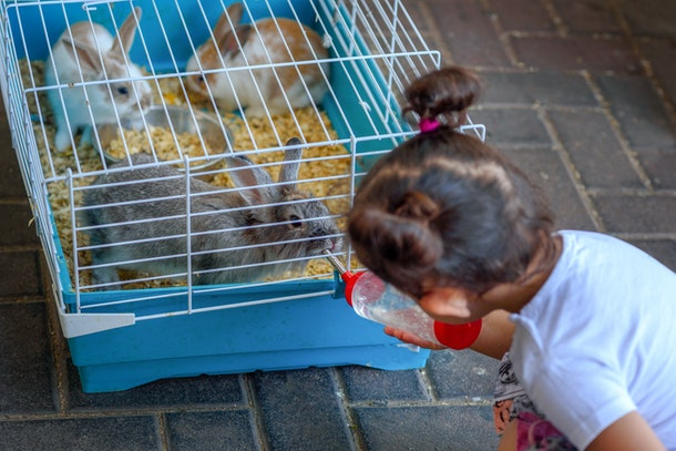 Cute little girl feeding rabbit on the farm. Toddler child give water to the animal from feeding water bottle.The bunnies drinking inside Cage for small Pets.