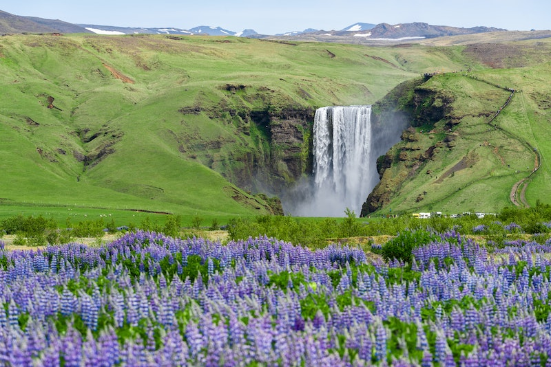 Skogafoss Waterfall, Iceland. Summer landscape with blooming lupines. Beauty in nature