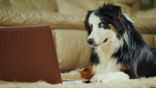 The Australian Shepherd dog looks at the video on the laptop screen. Funny video with animals concep...