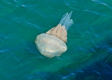 Barrel Jellyfish swimming in the Axe Estuary, Devon