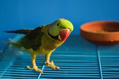A portrait of a pet parrot.