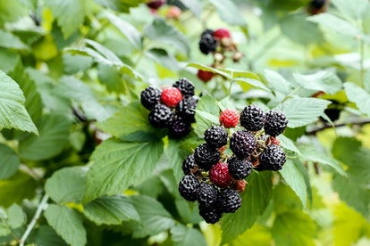 Blackberry growing in garden. Ripe and unripe blackberries on bush with selective focus. Berry background.