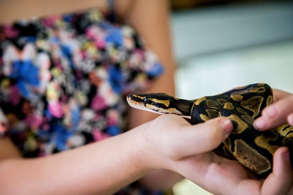 A little girl holds small ball python.  The snake is looking at the camera.