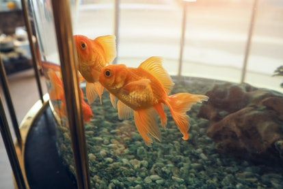 Goldfish swimming in glass jar with their friends.