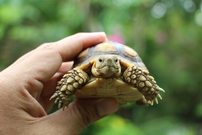 Tortoise on the hands of man (African spurred tortoise ),Cute portrait of baby tortoise ,Geochelone sulcata