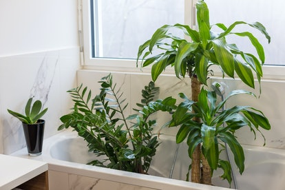 Watering and washing indoor plants in the bath