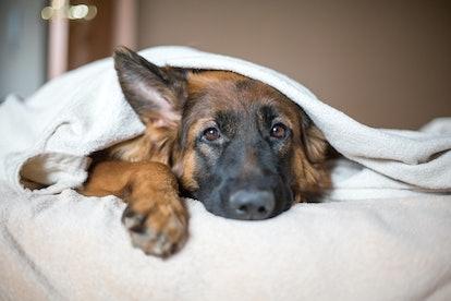 Cute German Shepherd in a blanket on bed. Lovely dog in home.