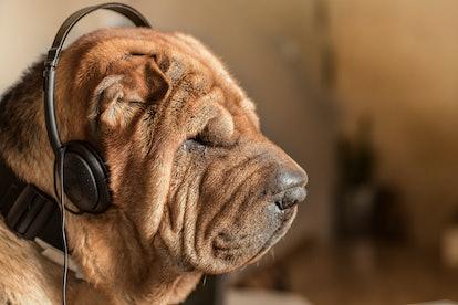 Dog with music headphones. Race Shar pei