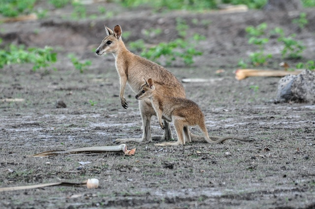 Agile Wallaby or Sandy Wallaby (Macropus agilis) with joey,  Bamurru Plains near Northern Territory, Australia