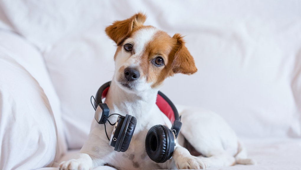 cute young small dog listening sitting on the sofa with headphones. Looking at the camera, pets indoors and music concept