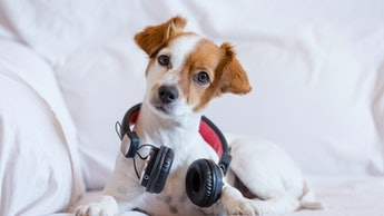 cute young small dog listening sitting on the sofa with headphones. Looking at the camera, pets indo...