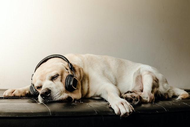 The Cute Labrador retriever dog sleeping and relax with headphone