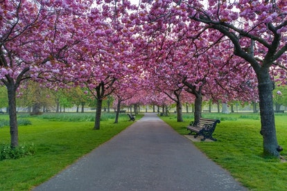 Cherry blossoms in full bloom, Greenwich Park, London, United Kingdom
