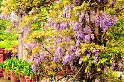 Beautiful wisteria blooming on a pergola, London, England