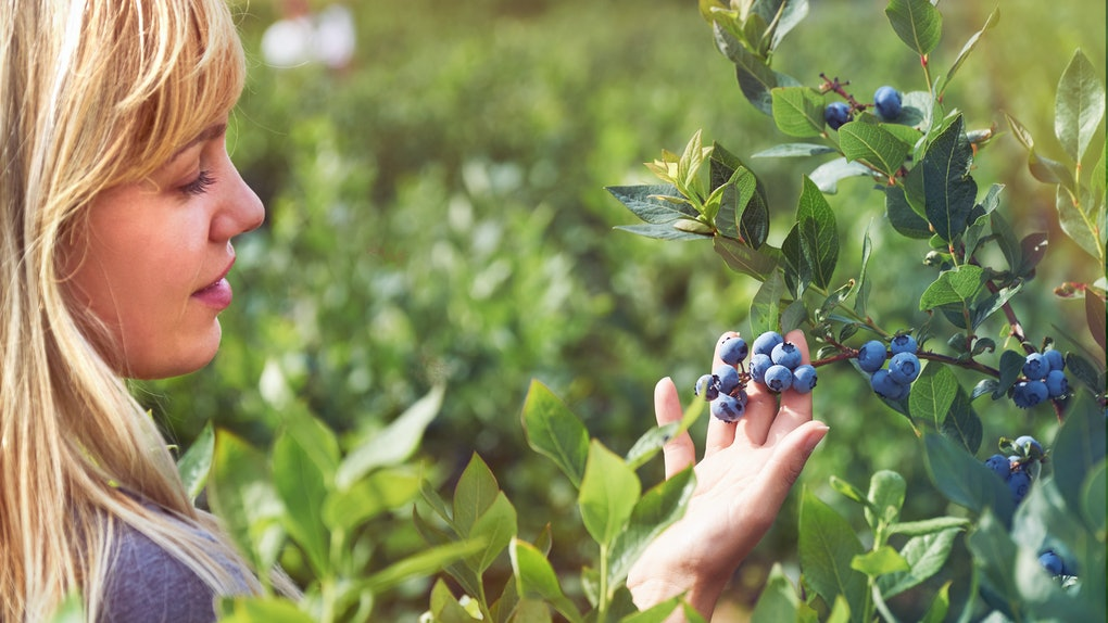 Pretty young woman is picking fruits on a blueberry field. Lensflare and vintage toned.