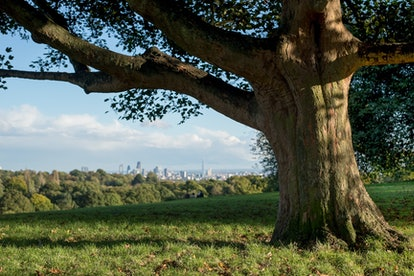 A beautiful ancient tree in Hampstead Heath overlooks the view on the city of London