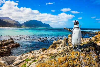 Fanny african black - white penguin on the beach of Atlantic.The boulders and algae. Boulders Penguin Colony National Park, South Africa. The concept of  ecotourism