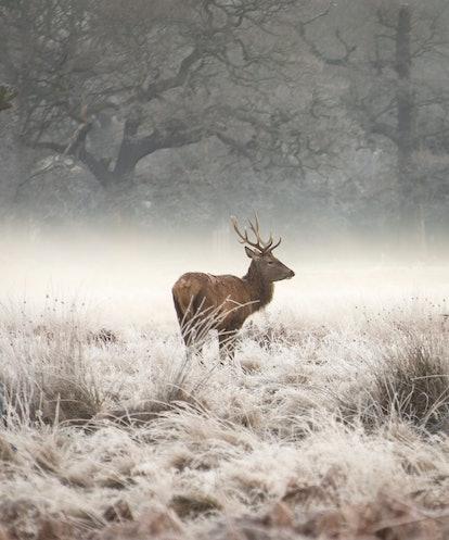 Richmond/Bushy Park Red Deer