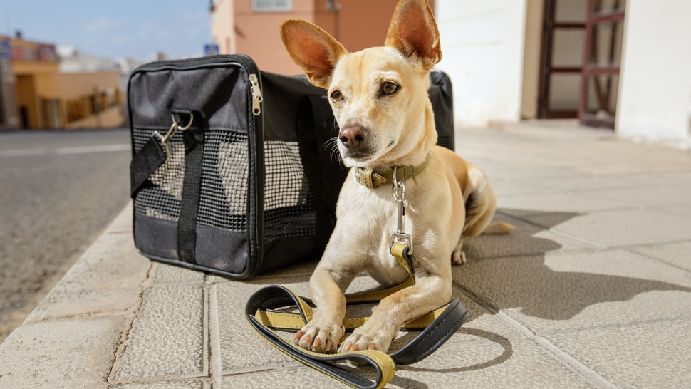chihuahua  dog in transport bag or box ready to travel as pet in cabin in plane or airplane as a passanger
