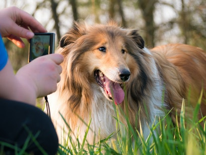 Women take photo of her gold rough collie dog with small compact camera at sunset, golden hour outside
