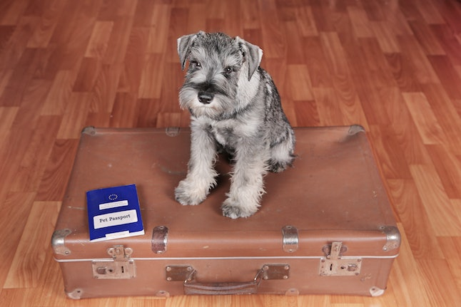 schnauzer puppy dog on a suitcase with pet passport is ready to a travel