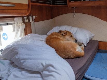 brown dog lays secretly in bed in RV camper van