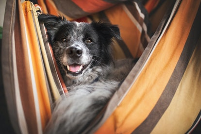 Dog in the hammock. Dog enjoys life. Adventure dog.