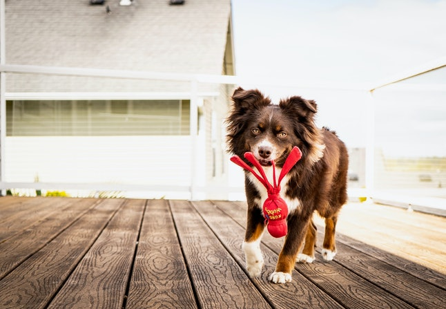 Dog with Kong dog toy
