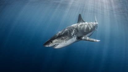Great White Shark with intense sunbeams and sun rays from the surface.  Taken at Guadalupe Island Mexico.