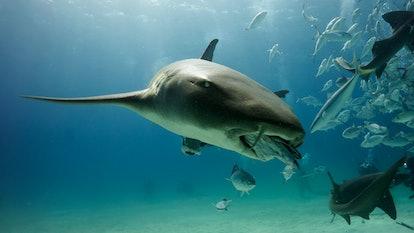 Time to eat for the nurse shark. Bimini. Bahamas.