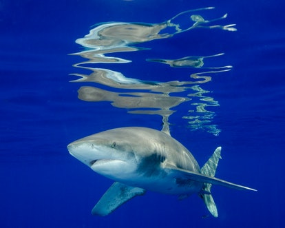 Oceanic White Tip Shark At the Surface in the Bahamas