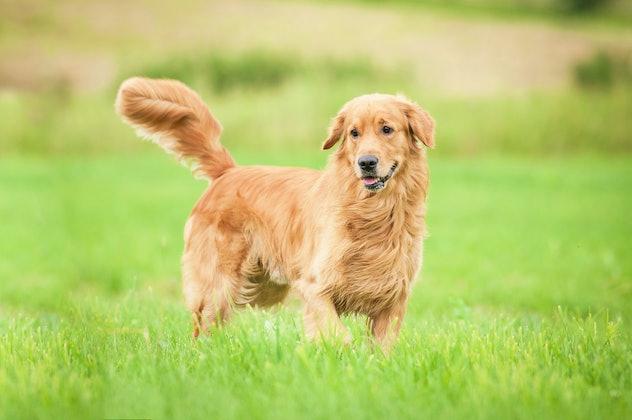 Golden retriever running on the lawn