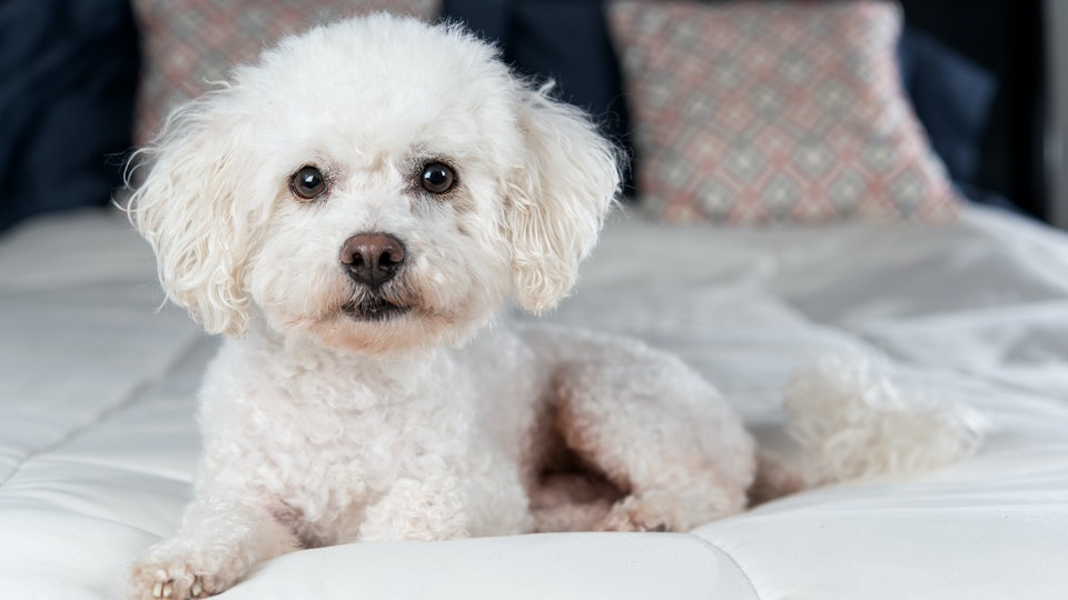 White Bichon Frise on white comforter on bed in bedroom