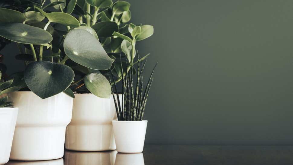 Houseplants in white pots and a green background.