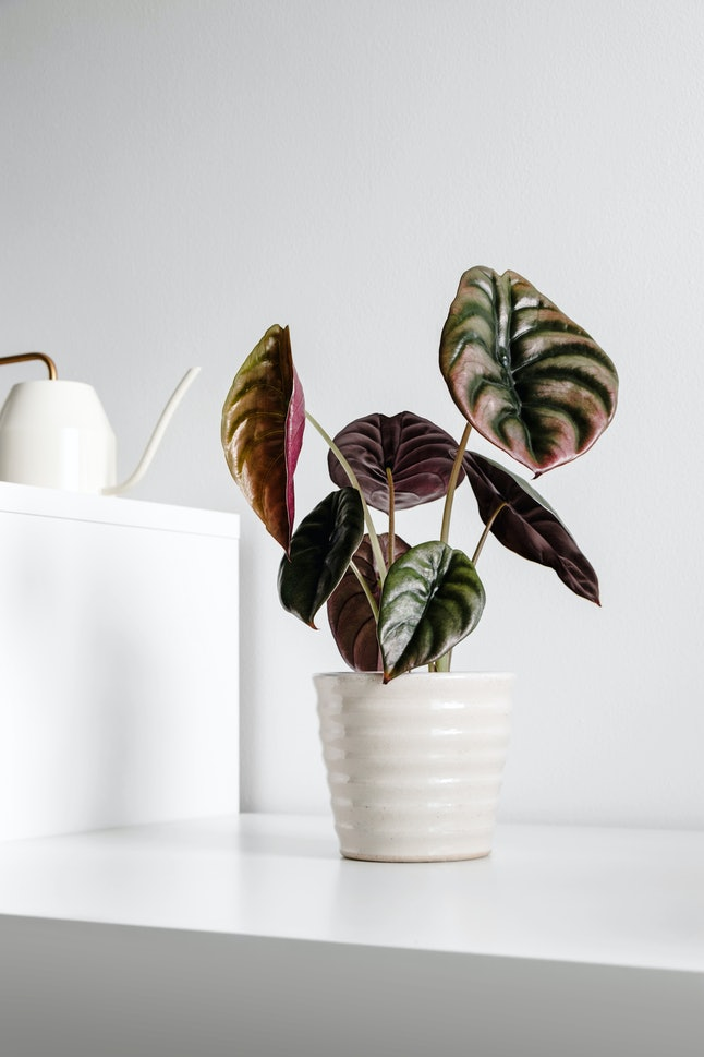 Modern houseplants on a table with watering can in the white living room, minimal creative home decor concept, Alocasia Cuprea