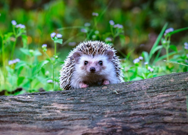 Dwraf hedgehog on stump, Young hedgehog on timber wiith eye contact, Sunset and sorft light, Bokeo b...