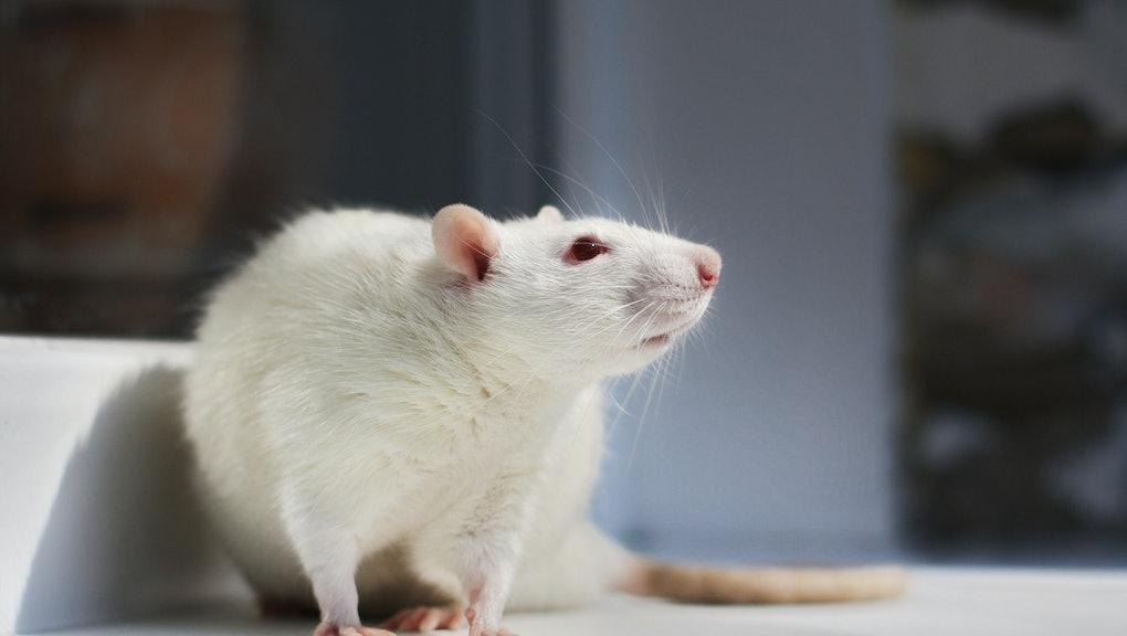 Albino white lab rat sitting on a window sill