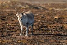 Svalbard reindeer (Rangifer tarandus platyrhynchus), Spitsbergen Archipelago, Svalbard and Jan Mayen...