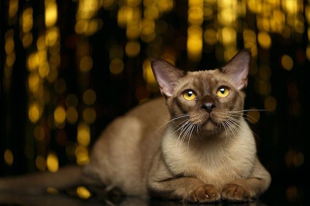 Burmese Cat Lies on golden happy new year background