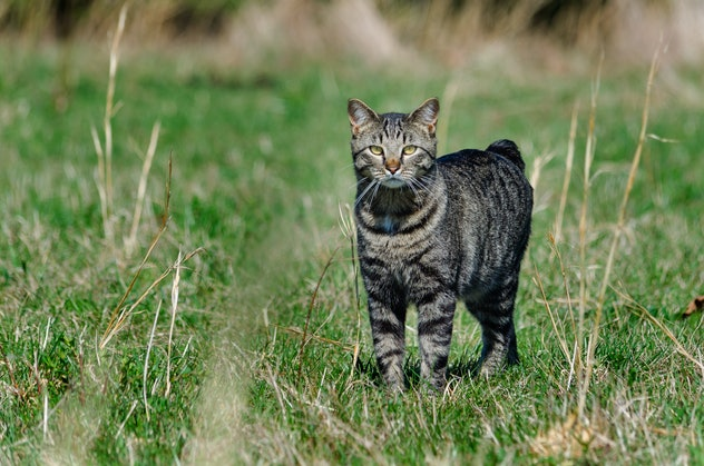 Manx cat out hunting in a field