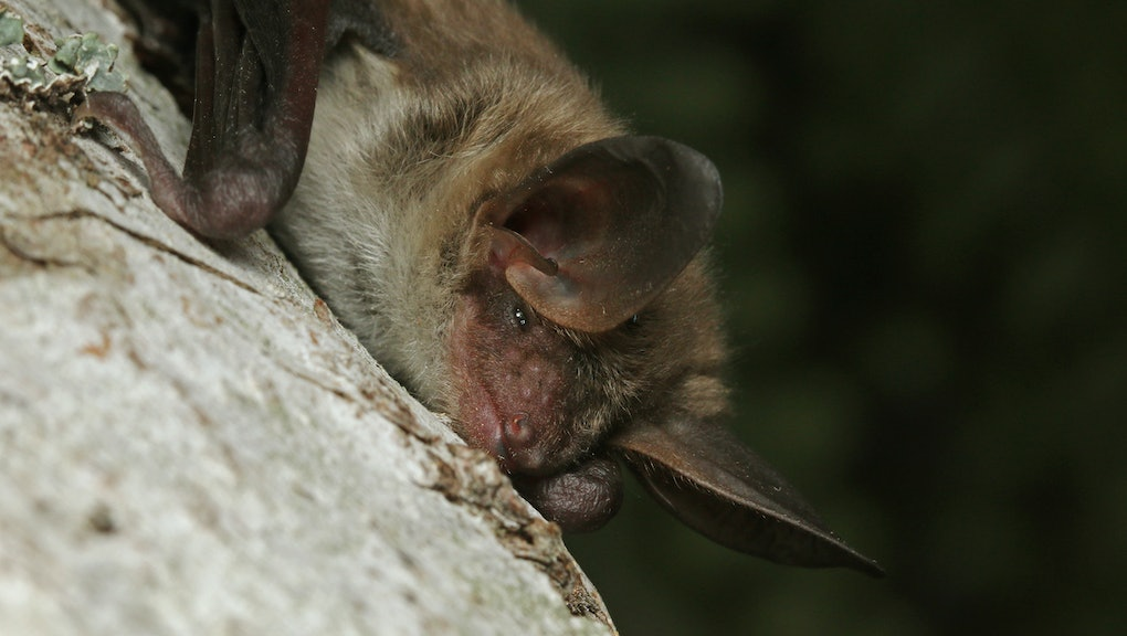 Bechstein's bat, a species of vesper bat found in Europe and western Asia, living in extensive areas of woodland and in caves.
