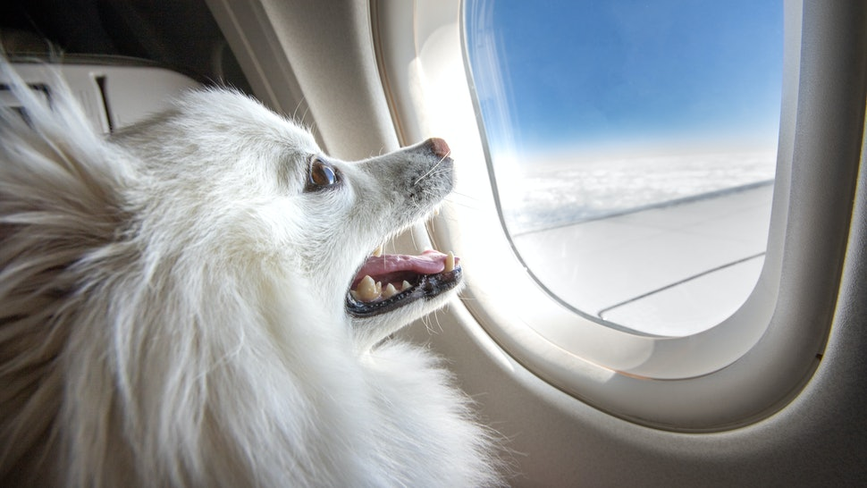 Dog on an airplane