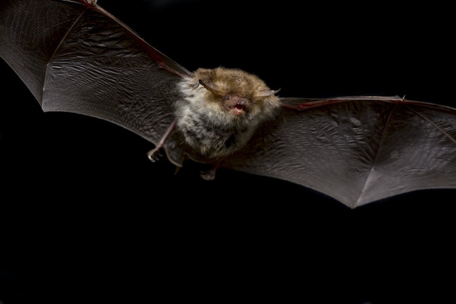 Close up flying small Bechstein's bat (Myotis bechsteinii) hunting night moths and insect pest catch...