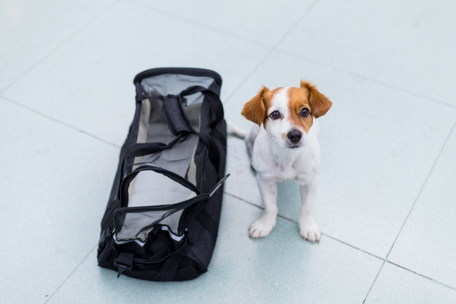 cute small dog with his travel bag ready to get on board the airplane at the airport. Pet in cabin. Traveling with dogs concept