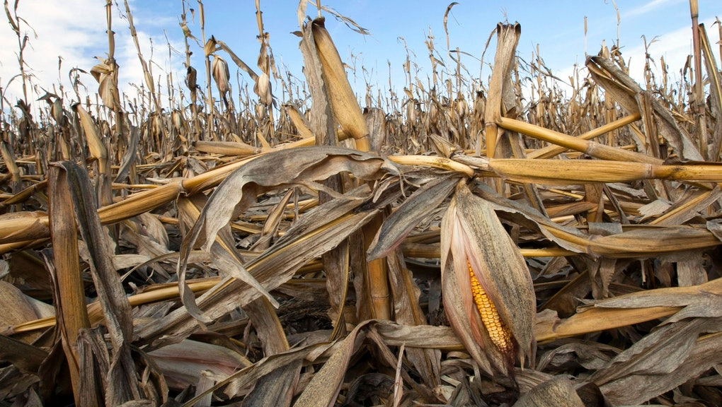 Corn plants weakened by the drought lie on the ground after being knocked over by rain in Bennington, Neb. Slowing the buildup of greenhouse gases responsible for warming the planet is one of the biggest challenges the U.S. _ and President Barack Obama _ faces. The impacts of rising global temperatures are widespread and costly: more severe storms, rising seas, species extinctions, and changes in weather patterns that will alter food production and the spread of disease